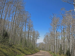 Defoliated Aspens