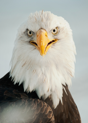 Close up Portrait of a Bald eagle with an open beak .