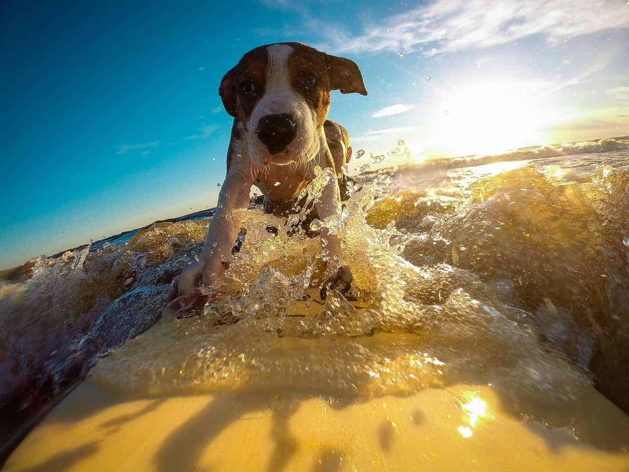 confident dog