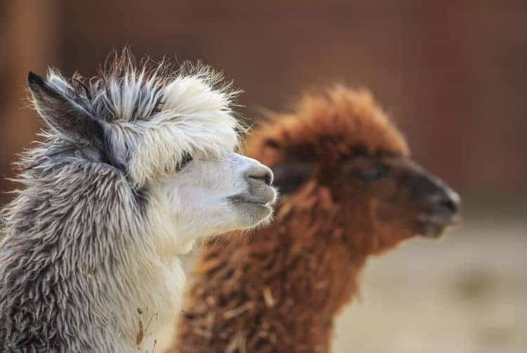 Valentine's Alpacas Afternoon Tea for Two