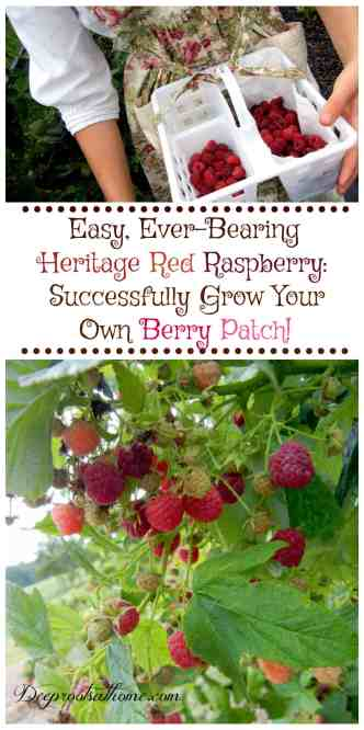 Easy Ever-Bearing Heritage Raspberry: Successfully Grow Your Own Berry Patch, ever-bearing red berries, picking basket, growing raspberries, berry picking, health benefits, antioxidants, pretty apron, toile fabric, juicy fruit, young plants, straw bedding, healthy spreading roots, father and son, two men working, ripe berries, ripe and plump, freezing berries, washing, emerald green bee, bug, insect, berries, ripe, fresh, face painted of finger, red head, little man, cheery face, smile,