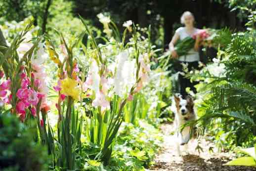 You Can Be An Expert At Planting & Growing Glorious Gladiolus In Your Garden, colors, hues, corms, bulbs, garden, gardening, planting, annual, perennial, sword lily, cut flowers, cutting garden, showy flowers, tropical look, iris family, root buds, instructions, directions, sets, fresh flowers, overwinter, graceful, long-stemmed, glads,