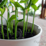 Grow a Lemon Tree from Seed in Your Own Home NO text