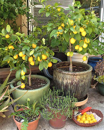 Grow A Lemon Tree From Seed In Your Own Home