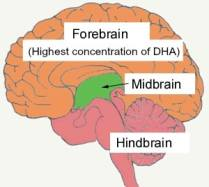 Fish Oil Healing Brain Food: Autism, Brain Injury & Dyslexia, diagram of brain, forebrain, midbrain, hindbrain,