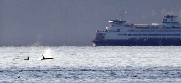 A pair of orca whales swim in view of a state ferry crossing from Bainbridge Island toward Seattle in the Puget Sound on Oct. 29. The whales were among about 20 or more, believed to be from resident pods, seen traveling through the passage. (Photo: Elaine Thompson, Associated Press)