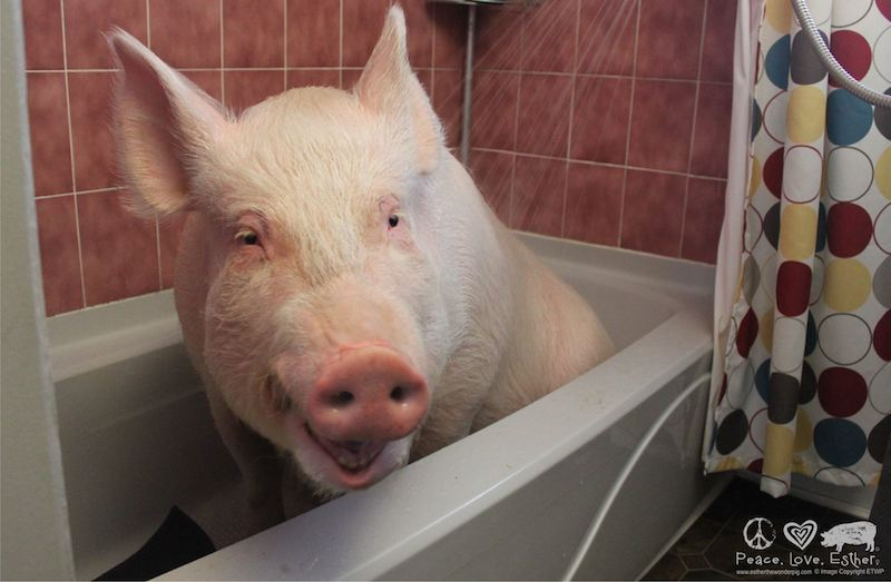 Esther the Wonder Pig, relaxing out of the spotlight