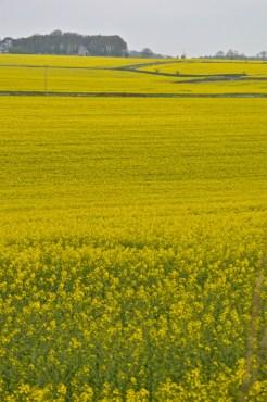 oilseed rape 24 april 201503