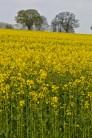 oilseed rape 24 april 201506