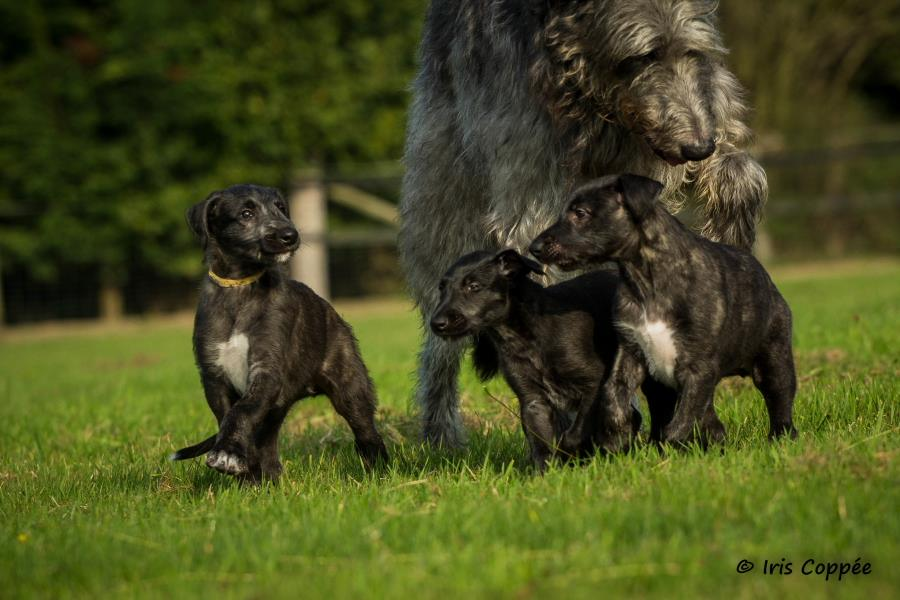 The Scottish Deerhound Club Of America The Official Web
