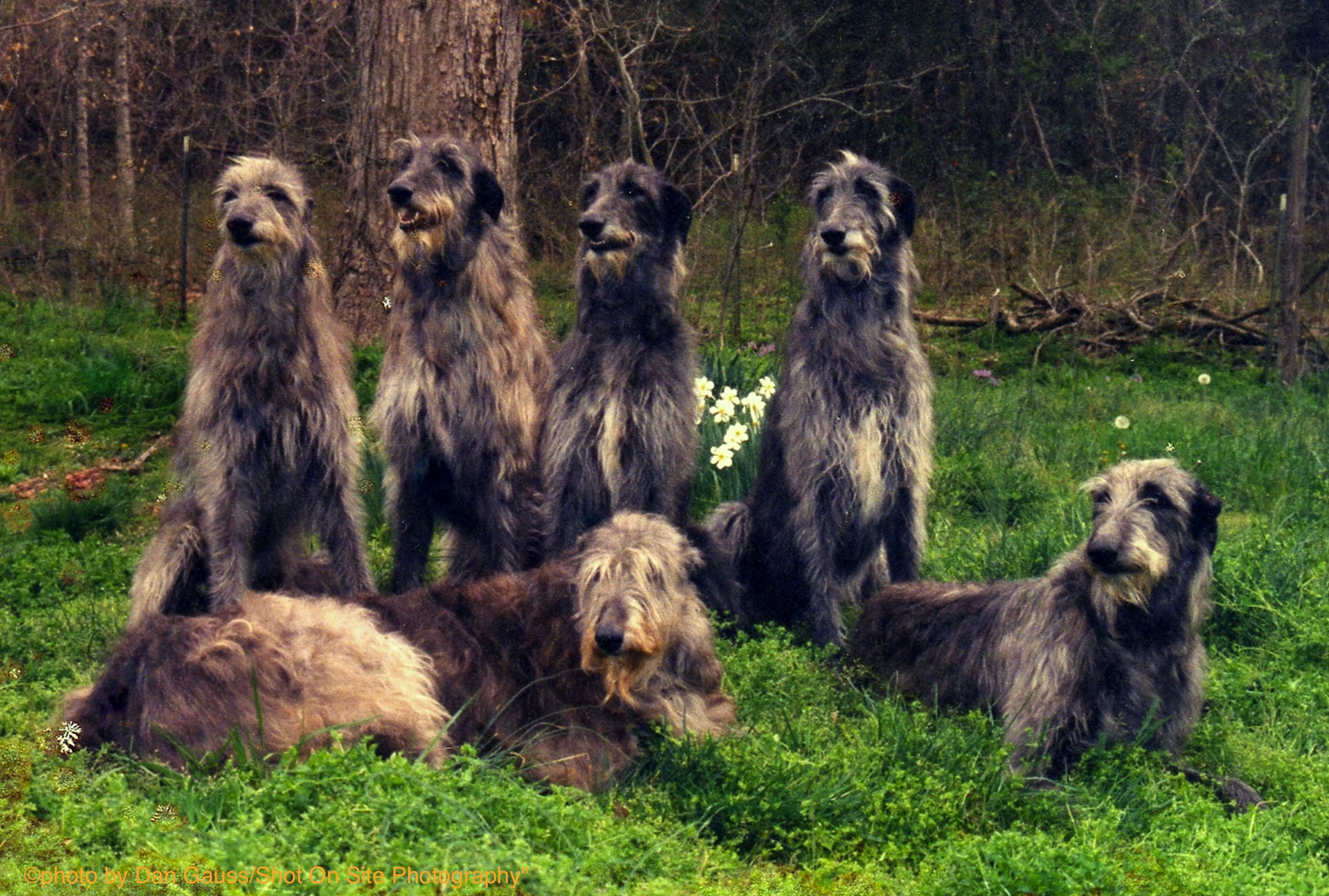 scottish deerhound rescue