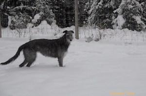 Photo of Deerhound taken by Susan Trow.