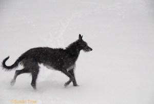 Deerhound in snow photo taken by Susan Trow.