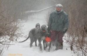 Photo of Deerhounds in snowstorm taken by Susan Trow