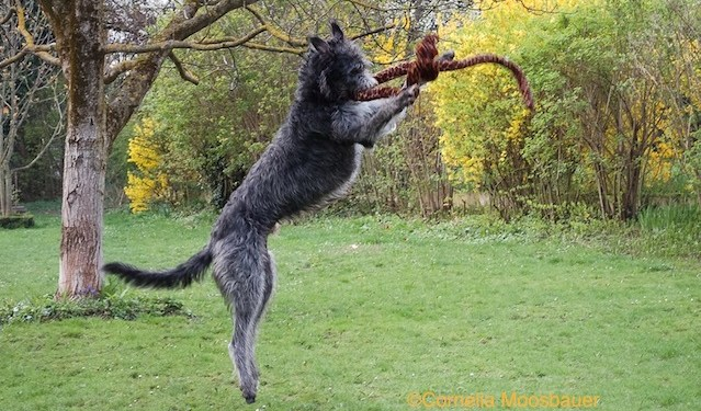Photo Of Seci the Deerhound playing with snake by Cornelia Mosobauer
