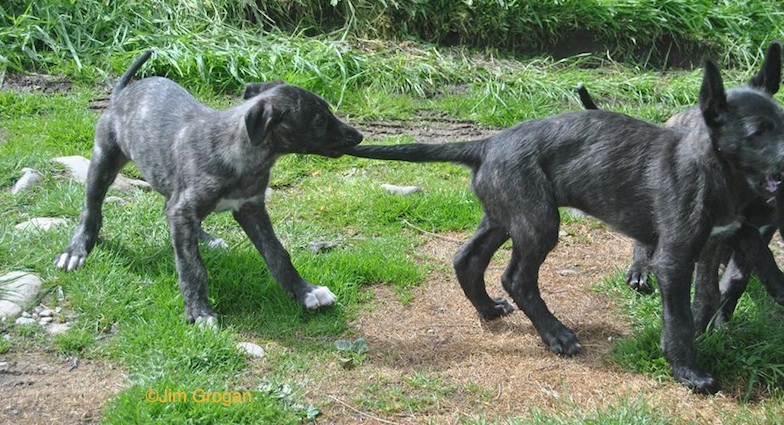 Photo by Jim Grogan of Deerhound puppies.