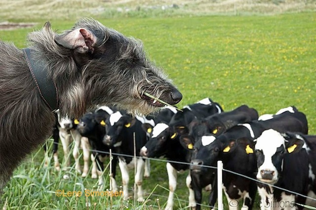 Photo by Lene Simonsen of Deerhound and cows.
