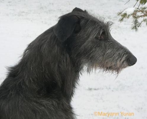 Photo of Deerhound Ch. Pennant's Gael by Maryann Yuran.