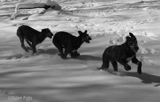 Photo of Deerhound puppies by Björn Fritz.