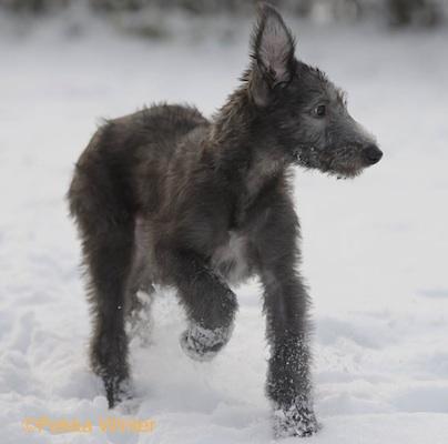 Deerhound puppy photo by Pekka Winter.