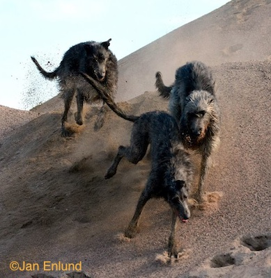 Photo of Deerhounds on a dune by Jan Enlund.