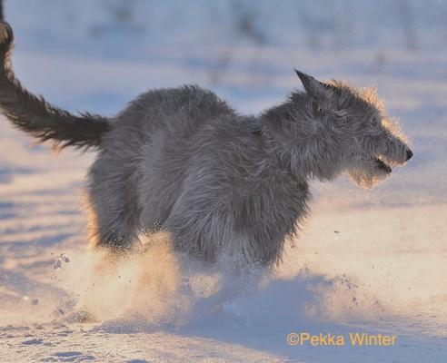 Deerhound by Pekka Winter
