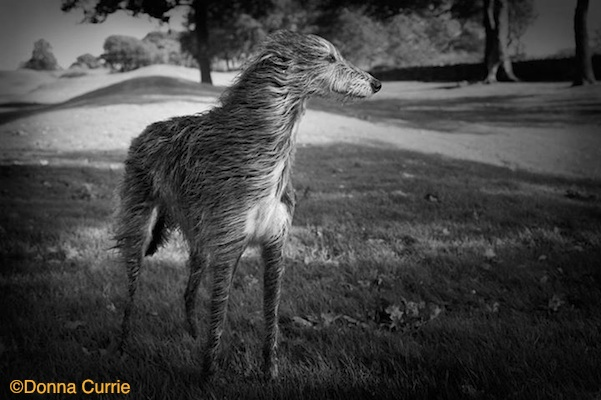 Photo of Deerhound Jura by Donna Currie.
