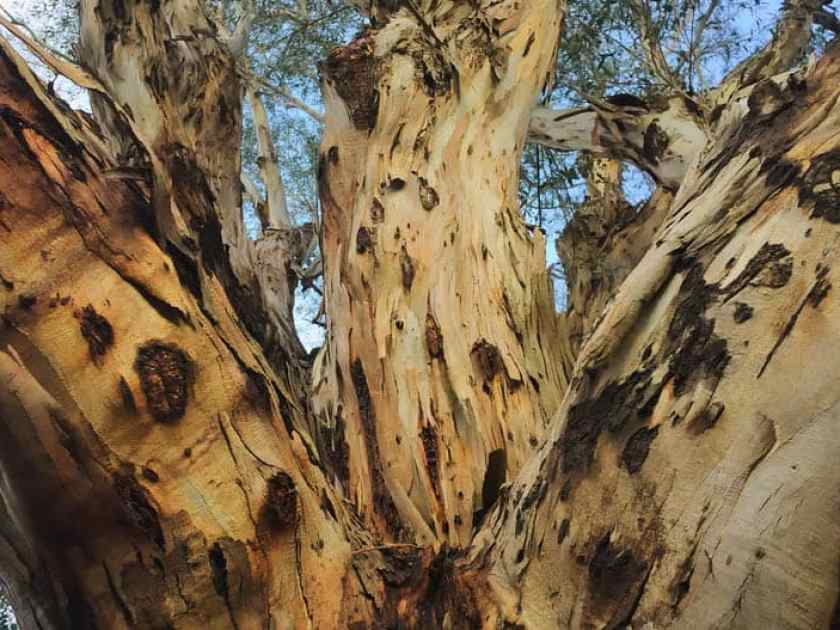 Tree Crotches
