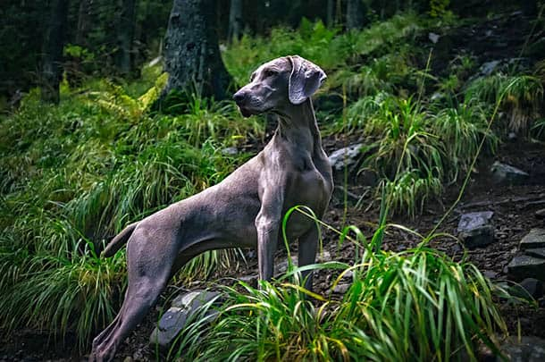 Labrador-Retriever 11 Best Duck Hunting Dogs That Will Make You A Professional Hunter