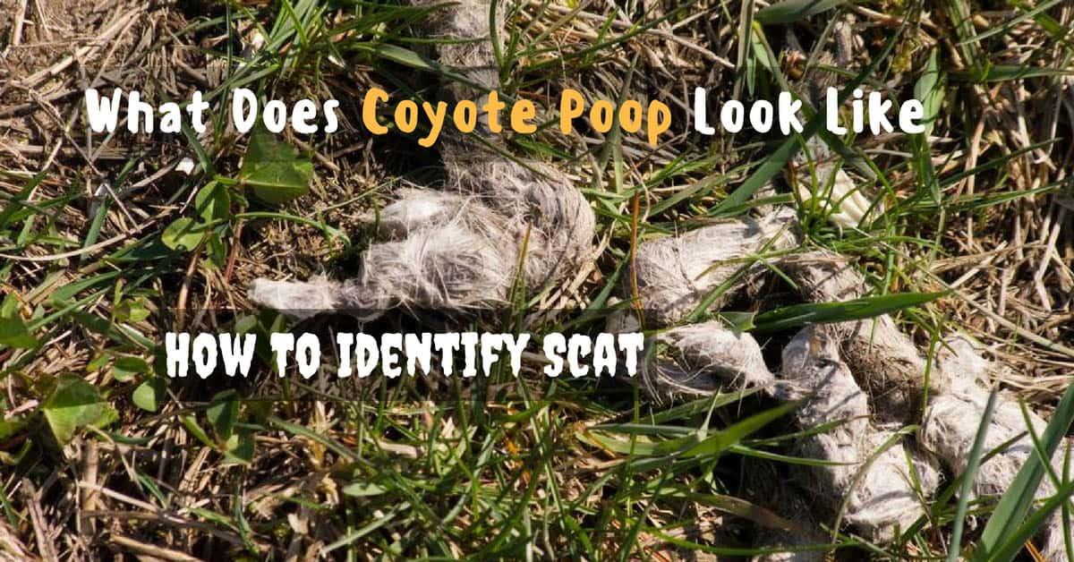 What Does Coyote Poop Look Like