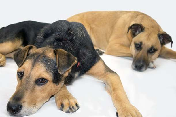 black-mouth-cur