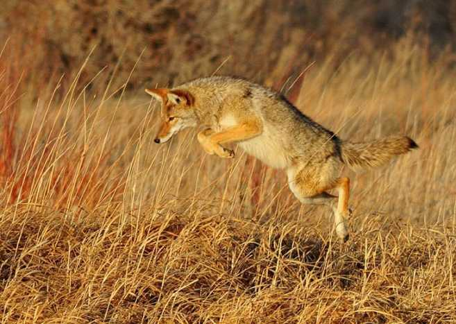 Get-That-Pelt-How-to-Skin-a-Coyote Get That Pelt! How to Skin a Coyote