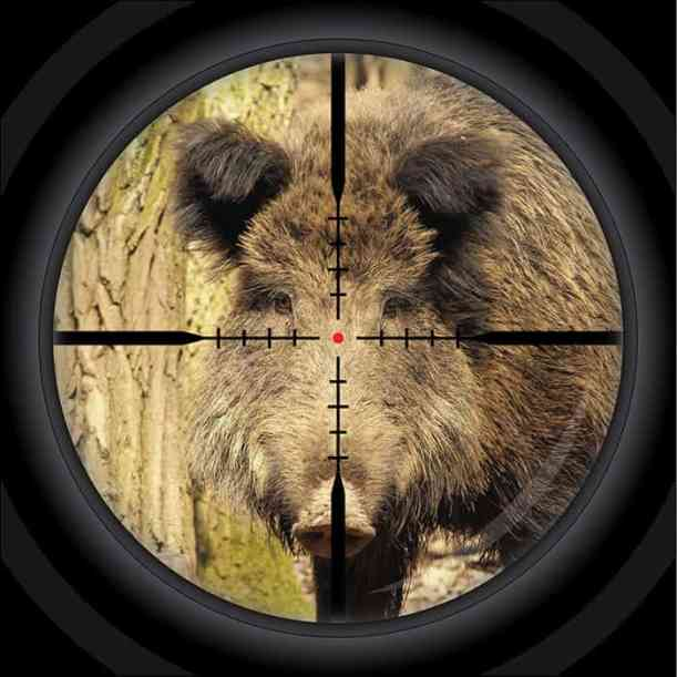 where to shoot a hog in the head