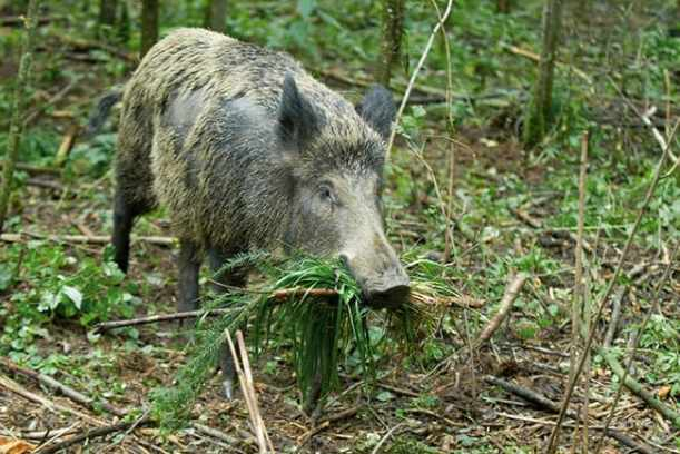 how long for wild hogs to find bait
