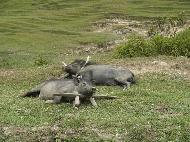 how to bait a wild hog trap