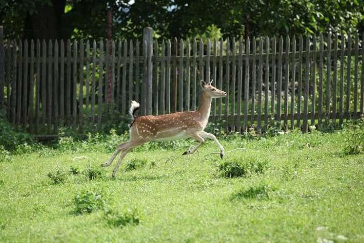 how high can a deer jump vertically