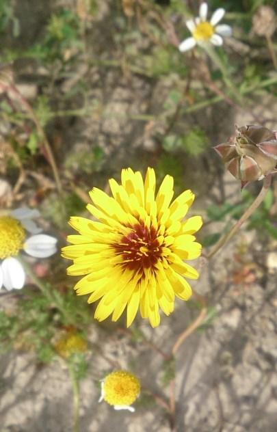 spanish wildflower