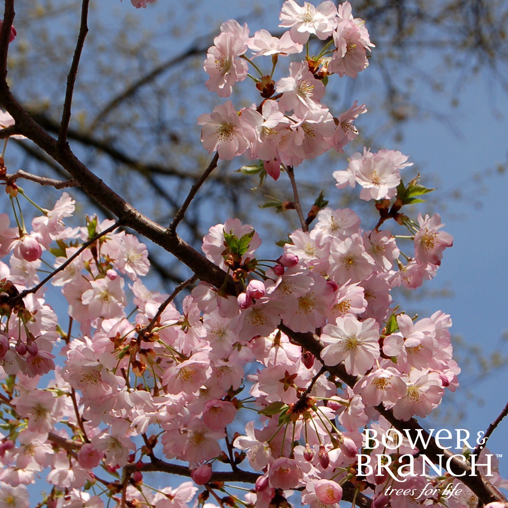 Shop Cherry Trees