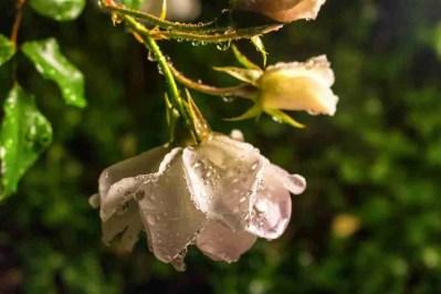 Print of Wet White Roses Photo