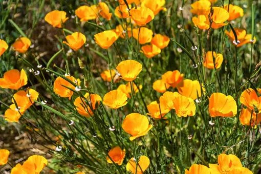 Print of a Field of Yellow and Orange California Poppies in Yosemite Photo