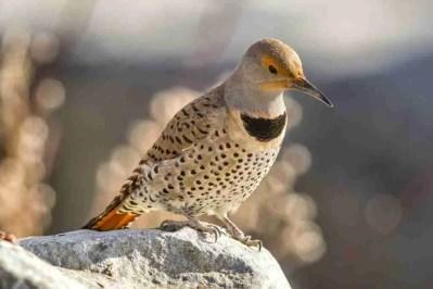 Print of a Northern Flicker Bird Photo