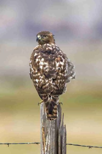 Print of a Red-Tailed Hawk on a Fence Post Photo