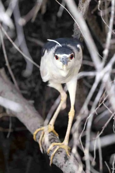Print of a Black-Crowned Night Heron Looking at You