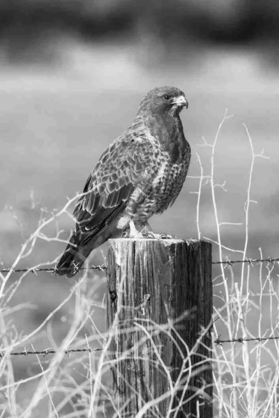 Black & White Print of a Hawk on a Wood Post
