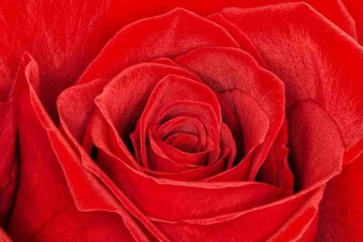 Print of a Close-Up of a Red Rose