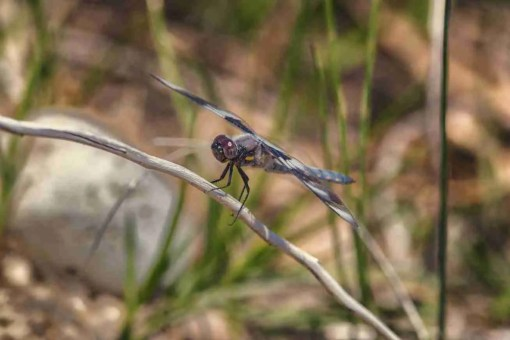 Print of a Black & Blue Dragonfly