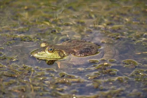 Print of a Bullfrog with His Head out of the Water