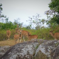 Vibrant cheetals of Bandipur
