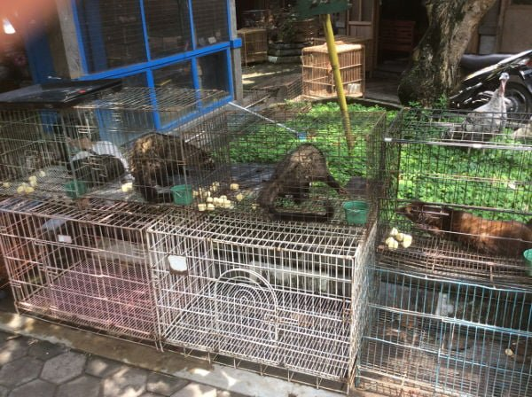 これは、インドネシアでペットとして人気のジャコウネコ?