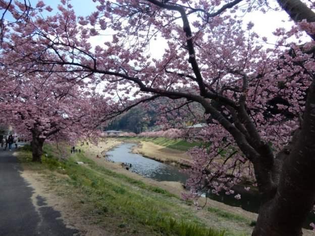 kawazu-sakura3